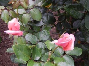 Roses low-res