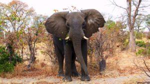 elephant-nullarbor-plain