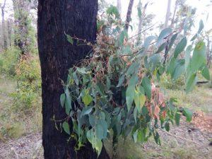 native-forests-bushfires
